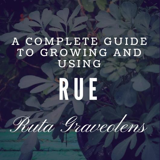 Ruta Graveolens-cover
