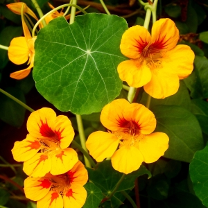 Yellow and red Nasturtium flowers contrast the green peltate leaves