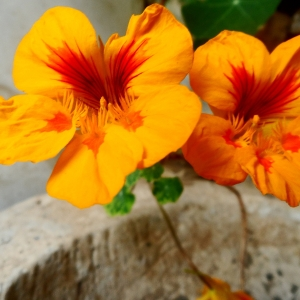 Two orange Nasturtium flowers growing out of a crack in a cement wall