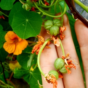 a hand holds the green seeds up for closer inspection