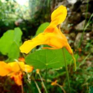side view of a yellow Nasturtium flower