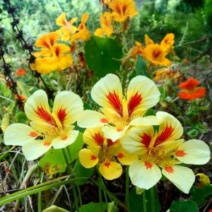 Orange, yellow, and cream coloured Nasturtium flowers